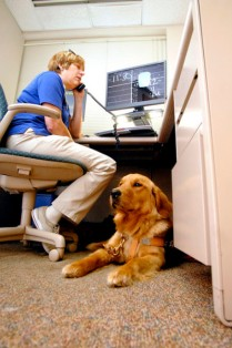 Darra, Joni Breedman's 20-month-old golden retriever seeing eye dog, rests under Joni's desk as she works in St. Vincent Anderson Regional Hospital's Erskine Rehabilitation Center